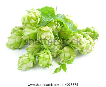 Small group of cones of hop with sheets (Humulus lupulus) on a white background - stock photo