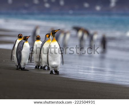 Small group of king penguins walk down the beach - stock photo