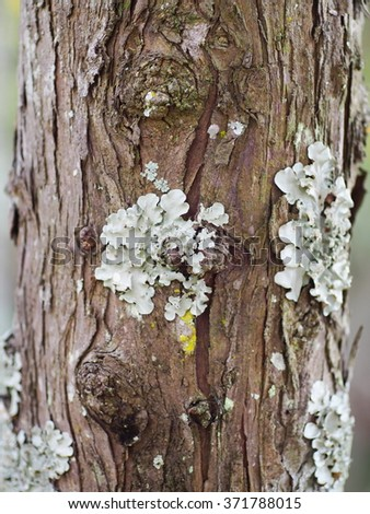 small group of light soft green moss lichens growing on dry brown textured tropical tree bark in cold mountain zone THAILAND - stock photo