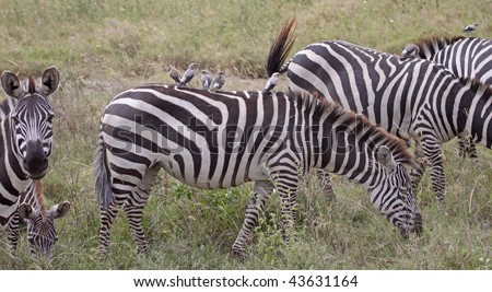 Small group of oxpeckers hitching a ride on the back of a zebra in the Serengeti national park,Tanzania