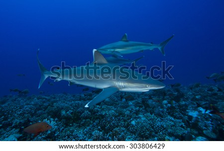 SMALL GROUP OF SILVERTIP SHARK TURN AROUND THE REEF