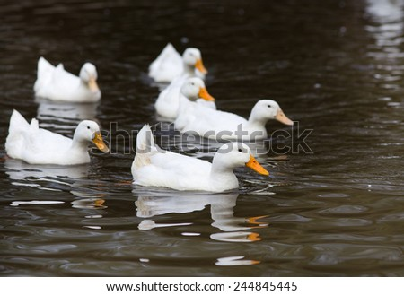 Small group of white ducks swimming in the water - stock photo