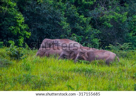 Small group of Wild elephants walking in blady grass filed with forest background in real nature at Khao Yai national park,Thailand - stock photo