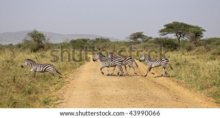 Small group of zebra crossing the road in the serengeti. A very small part of the annual migration - stock photo