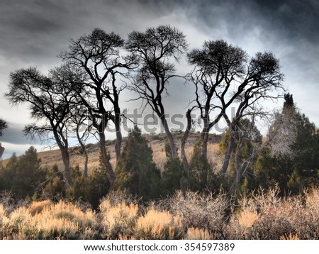 Small grove of cottonwood trees in a mountain valley. - stock photo