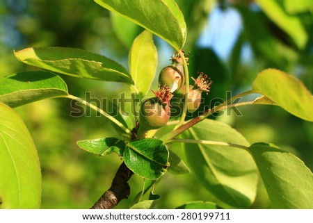 Small growing pear in the garden  - stock photo