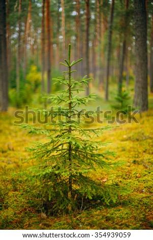Small growing spruce fir tree in coniferous forest. Russian Nature - stock photo