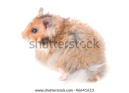 small hamster