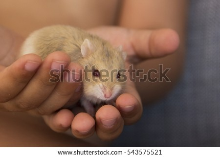Small Hamster in Child Hands
