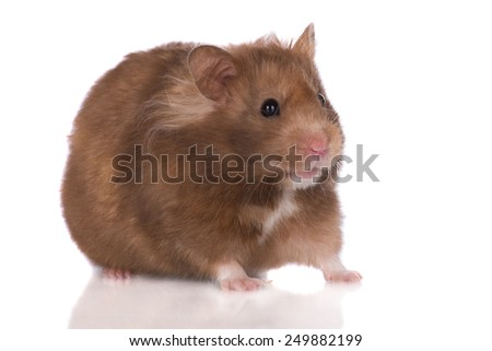 small hamster on white background - stock photo