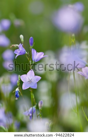 Small harebell or campanula wildflower in the meadow. Beautiful nature background. - stock photo