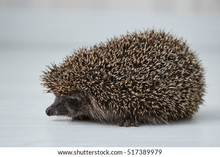 Small hedgehog in a bright room on the white floor.