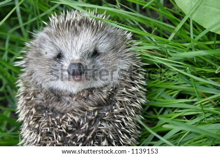 Small hedgehog rests upon herb - stock photo