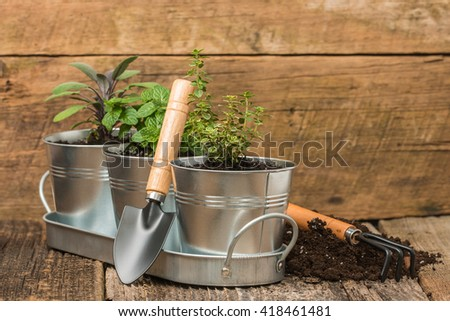 Small herbs planted into small metal containers to create an indoor herb garden. - stock photo