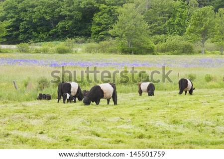 Small herd of Belted Galloway cows grazing in Rockport, Maine. - stock photo