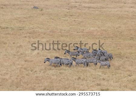 Small herd of plain zebras in savannah of Masai Mara National Reserve, Kenya - stock photo