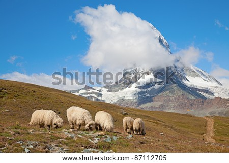 Small herd of sheep in swiss alps - stock photo