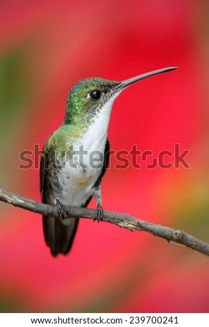 Small himmngbird Andean Emerald sitting on the branch with red flower background - stock photo
