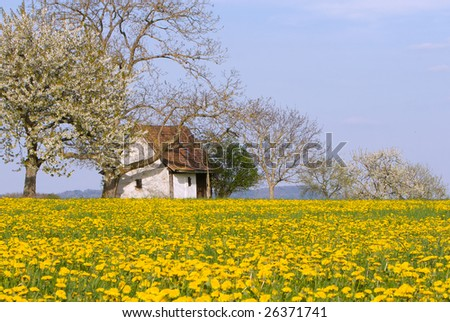 Small house on a field of blooming dandelions on a sunny spring day. - stock photo