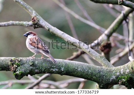 Small House Sparrow perched on a branch of my apple tree. - stock photo