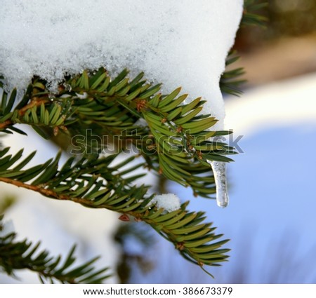 Small Icicle on a Yew Tree (Germany) - stock photo