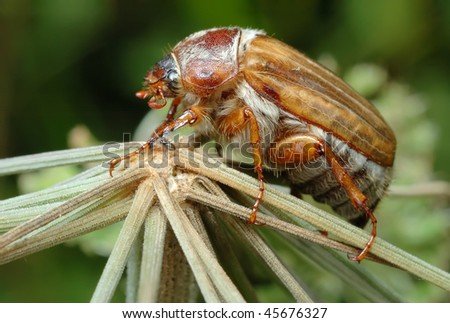 Small June Beetle (Amphimallon solstitiale) sitting on the plant, his leg examines tiny spider. - stock photo