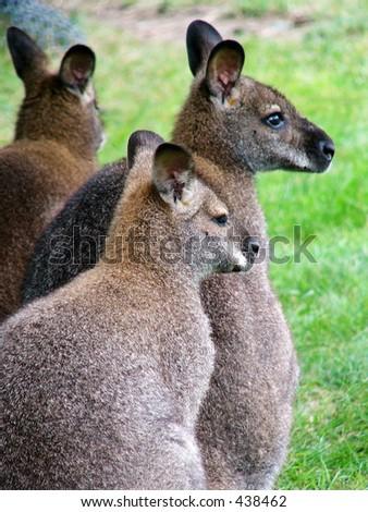 Small kangaroo - stock photo