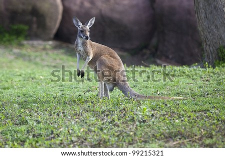 Small Kangaroo standing in the grass