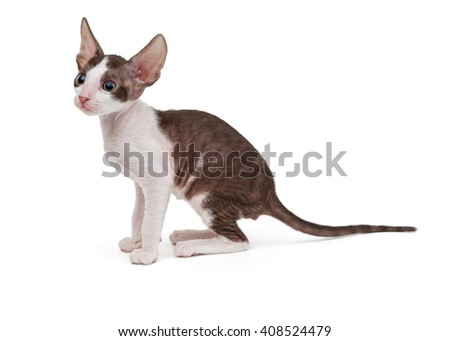 Small kitten Cornish Rex, side view, isolated on white