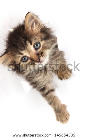 Small kitten in paper side torn hole isolated on white - stock photo