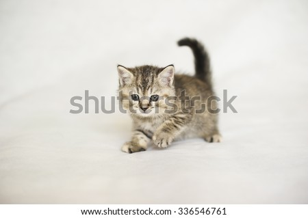 Small kitten, Kitten playing, brindle coat color, striped baby British tabby kitten, pet, cute kitten, family friend.  - stock photo