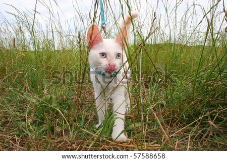 small kitten on bright blue leash exploring grass