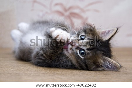 Small kitten playing at the table at home and looking at photographer