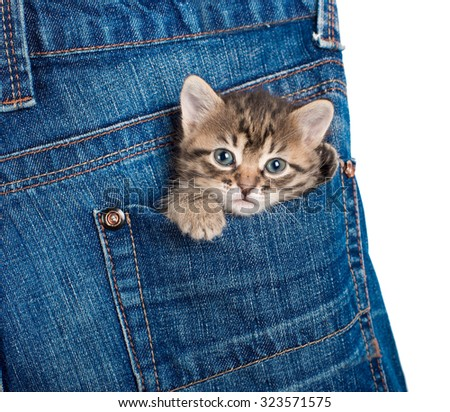 Small kitten sitting in a pocket of blue jeans. Isolated. A series of photos. - stock photo