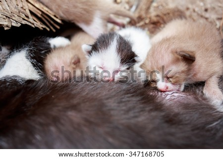 Small kittens suckling from his mother - stock photo