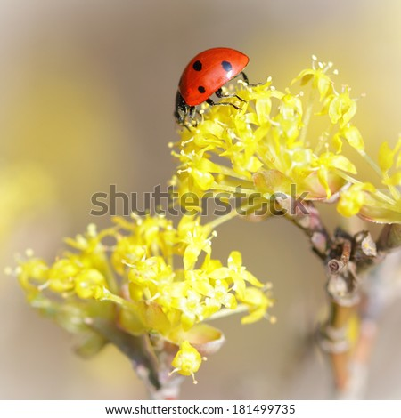 Small ladybird on a yellow flower in springtime - stock photo