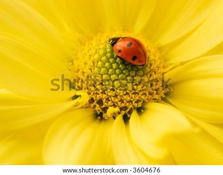 Small ladybug sleeping on yellow flower's petals - stock photo