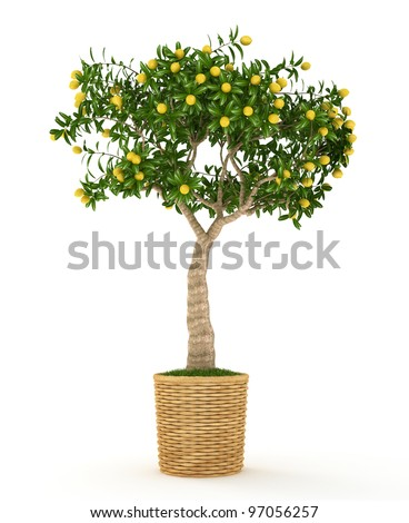 Small  lemon tree with yellow lemons in the pot isolated on white - stock photo