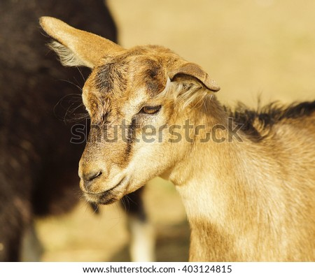 small light brown goat with hairy ears standing next to his mother