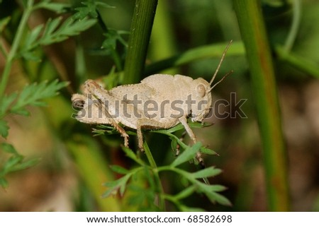 Small Light-Colored Grasshopper
