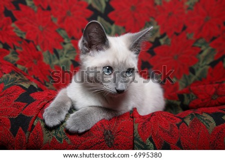 Small, lilac point Siamese kitten on red poinsettia tapestry chair.