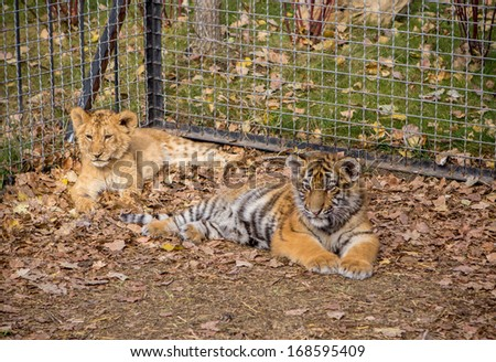 Small Lion and Tiger - stock photo