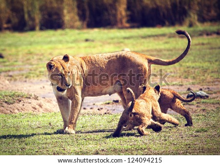 Small lion cubs with mother on savannah. Ngorongoro crater in Tanzania, Africa.