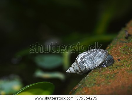 small little natural grey brown snail climbing on the pond floor with green moss and water plants under natural sunlight  on a sunny day - stock photo