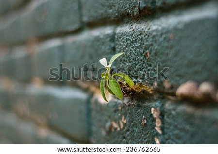 small little plant, growing on the grout between bricks - stock photo