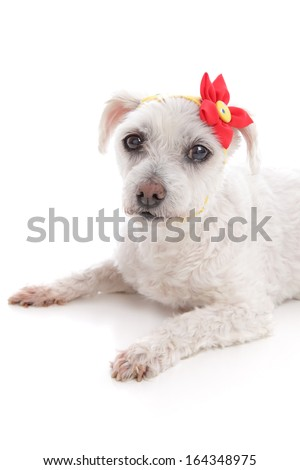 Small little white maltese terrier lying down.  Wearing a yellow bandana scarf with a decorative red and yellow flower.  White background