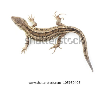 Small lizard isolated on white - stock photo