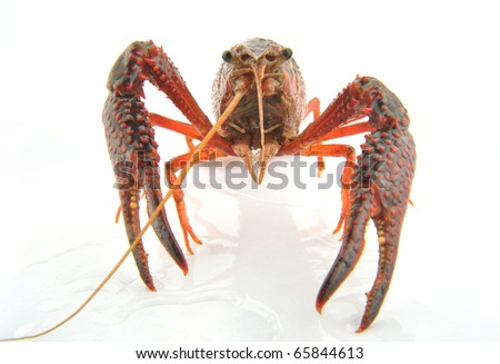 small lobsters on the white background