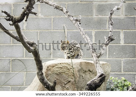 Small lynx in zoo animals, wildlife and nature - stock photo