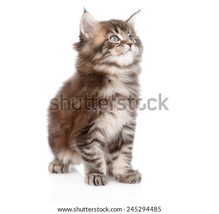 small maine coon cat looking away. isolated on white background - stock photo